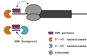 PPR proteins block exonucleases and influence translation