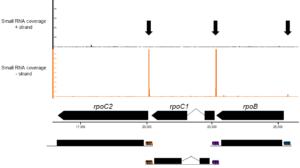 Small RNAs in the rpo-operon